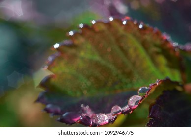 rose leaves in the dew on the background of the sun. close-up . spring morning. beautiful bokeh. background