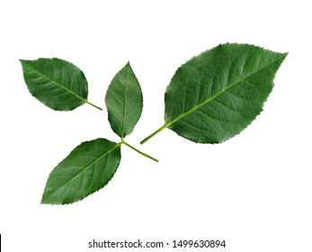 rose leaves on a white background