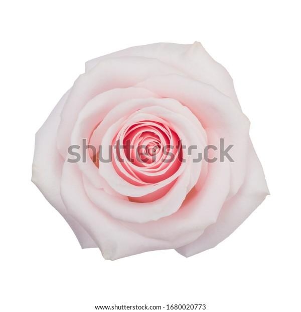 Rose light pink. White background
