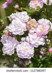 Rose Little Rambler 'Chewramb' a springtime summer pink flower miniture shrub