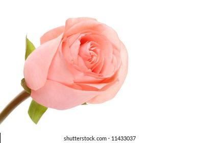 rose. macro
