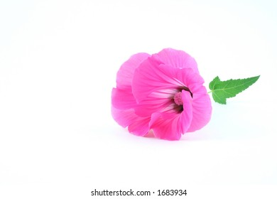 Rose mallow (Lavatera trimestris) bloom isolated on white background