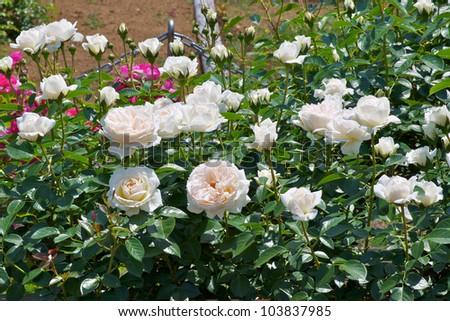rose mon jardin et ma maison - Mon Jardin Ma Maison