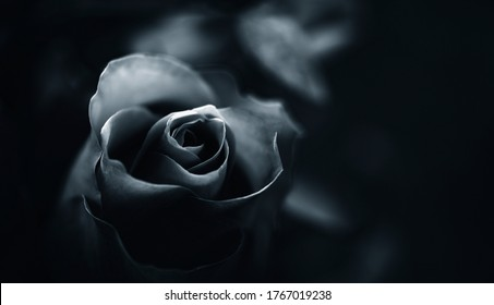 Rose monochrom  black and white dark and moody free space