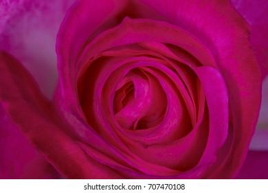 Rose in morning light.
