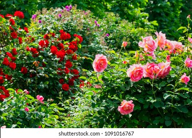 Rose on the bush, beautiful flower heads at spring in garden