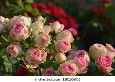 Rose on the bush, beautiful flower heads at spring in garden. mini rose - Mimi Eden (Melptipier). France