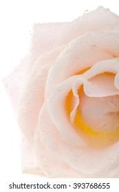 rose on white back