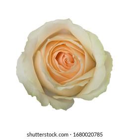 Rose Peach Avalanche. Light orange. White background