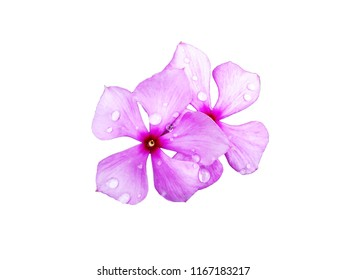 Rose Periwinkle after rain isolated on white