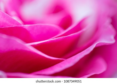 rose petal closeup