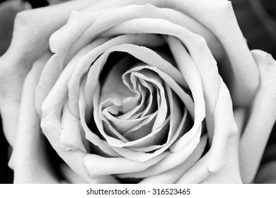 Rose petal texture black and white