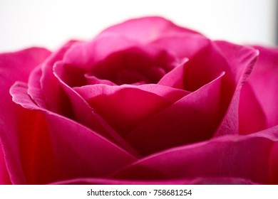 Rose Petals Close-Up