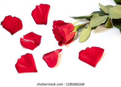 Rose and rose petals on white background