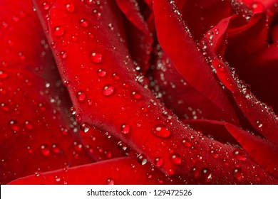 Rose petals in the water droplets. Close-up.