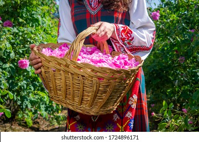 Rose picking ritual in Bulgaria. Girl in traditional dress picks roses early in the morning and puts them into basket. Bulgarian rose traditional rose picking