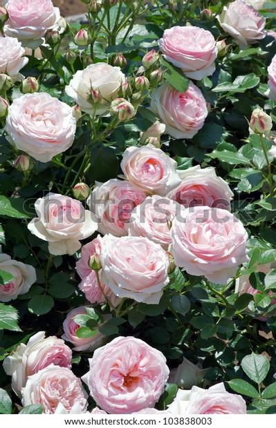 Rose Pierre De Ronsard Eden Rose Royalty Free Stock Image
