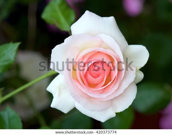 Rose Pierre De Ronsard Eden Rose Stock Photo Edit Now