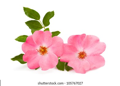 rose pink flower isolated on white