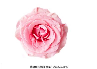 rose pink on white background, isolated flower