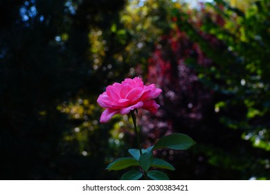 Rose with pink petals and green leaves, photo with Meike lens 35mm f1.4, camera Sony A3000
