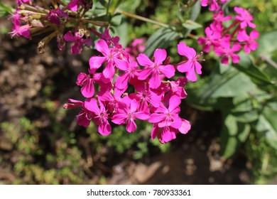 None so pretty images stock photos vectors shutterstock rose pink sweet william catchfly flowers or garden catchfly in zurich mightylinksfo