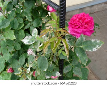 Rose plant leaves and flower buds damaged by fungal disease powdery mildew close up