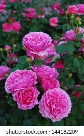 Rose, Princess Alexandra of Kent