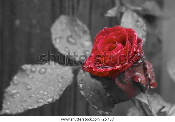A rose in the rain. Detail of water droplets is incredible. Red flower on B/W background.