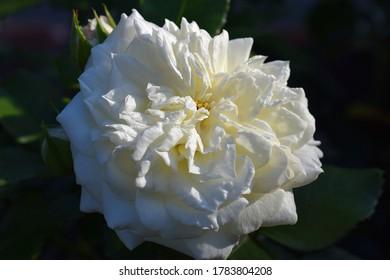 """rose in rays of the sun. Tender beautiful white rose petal texture. Pink rose petal close up. Macro photo of natural rose petal """"Alabaster""""."""