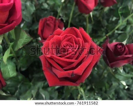 Rose Red Color Background Stock Photo Edit Now 761911582