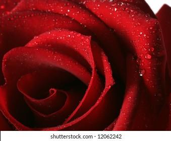 rose red dew flower romance close up
