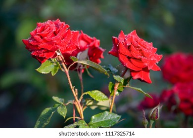 rose with red petals in drops of dew in the early morning