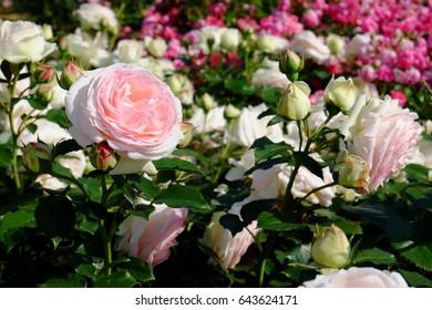 Rose: Rosa 'Eden' ('Pierre de Ronsard')