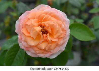 Rose Scented Memory - Latin name - Rosa Scented Memory