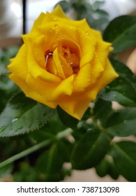 rose, shallow depth of field