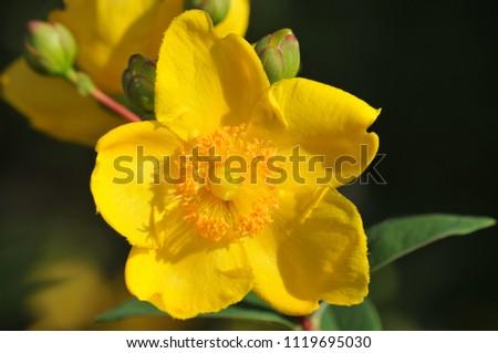 Rose Sharon Flower Stock Photo Edit Now 1119695030 Shutterstock