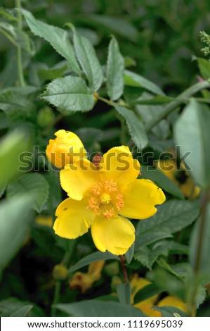 Rose Sharon Flower Stock Photo Edit Now 1119695039 Shutterstock