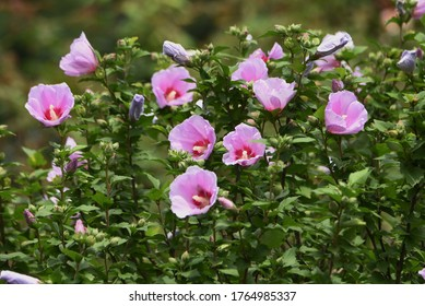 Rose of Sharon (Hibiscus syriacus) is a Malvaceae deciduous tree with beautiful white and pink flowers that bloom from August to September.