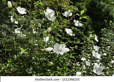 Rose of sharon white flowers / Rose of sharon blooms to the next from the next from summer to autumn, and a floral bud is used for a crude drug for stomach flu.