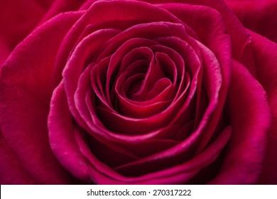Rose, Single Flower, Flower.