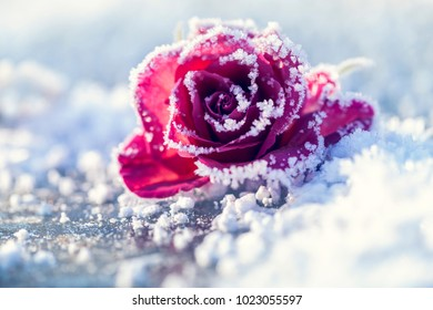Rose in the snow in a macro shot