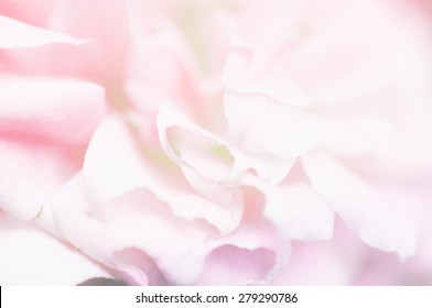 Rose in soft and blur style for background with filled color filter