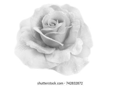 rose soft focus texture