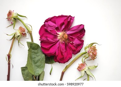 Rose and rose stems without petals