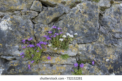 ROSE IN STONE WALL