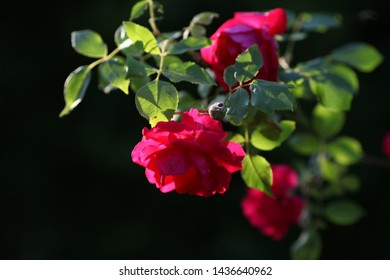 rose summer background garden nature