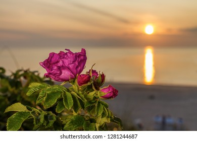 Rose of Sylt in Sunset