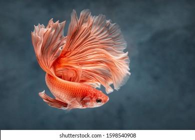 rose tail Moon Bettas Siamese Fighting Fish