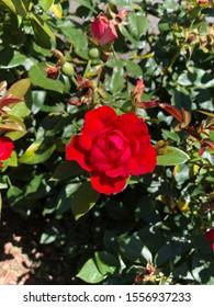 Rose, Taken at the Botanical Gardens, Bronx, NY
